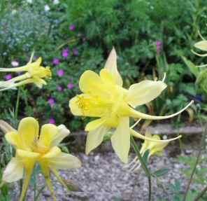 poza Flori de gradina perene Aquilegia hybrida/caldarusa