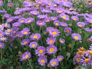 poza Flori de gradina perene Aster amellus King George (aster, steluta, ochiul boului de munte)