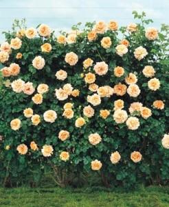 poza Plante urcatoare Trandafir catarator galben h=2m, clt 7 lt