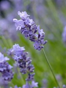 Poza Plante aromatice de  gradina in ghiveci Levantica (Lavandula Angustifolia)