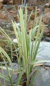 poza Ierburi graminee Glyceria maxima Variegata ghiveci 3-4 litri