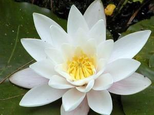 poza Plante acvatice  Nymphaea 'Marliacea Albida' cu ghiveci special pentru plante acvatice