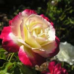 poza Trandafiri de gradina Double Parfume/Double Delight, planta la ghivece de 3 litri