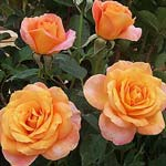 poza Trandafiri de gradina Monika cu radacini in ghivece de 3 litri