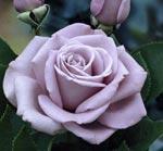 poza Trandafiri de gradina parfumati cu radacina ambalata  `Sterling`