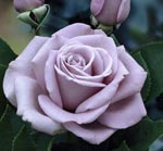 Poza Trandafiri de gradina cu radacina Sterling . Trandafiri altoiti cu minim trei ramificatii.  Trandafiri sanatosi, rezistenti cu inflorire indelungata si flori deosebite.