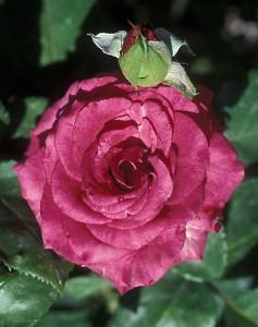 poza Trandafiri de gradina Passion tufe cu radacina in ghivece de 3.5 litri