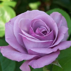 poza Butasi de trandafiri cu radacina ambalata  `Sissi`/`Blue Moon`