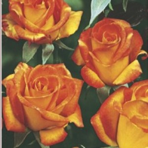 poza Trandafiri de gradina Floribunda Animo, planta formata cu radacina in ghiveci de 35 l