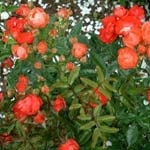 poza Trandafiri de gradina Polyantha Samba, planta formata cu radacina in ghiveci de 3 litri