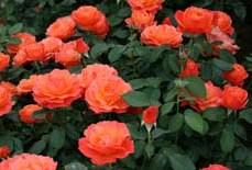 poza Trandafiri de gradina Polyantha Fiji butas cu radacini in ghiveci de 3 litri