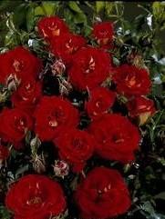 poza Trandafiri pitici de gradina Magic, butasi cu radacina in ghiveci de 3 l