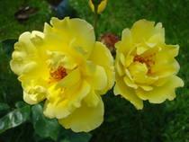 Poza  Trandafiri parfumati de gradina Polyantha cu radacini in ghiveci Fresia.Trandafiri Polyantha altoiti cu minim trei ramificatii. Varsta trandafirilor: 3 ani. Trandafiri sanatosi, rezistenti cu inflorire indelungata si flori deosebite.