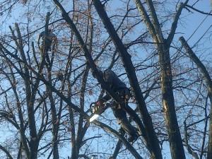 poza Doborare taiere arbori cu inaltime intre 6 si 12 metri. Pomi si copaci uscati inalti cazuti sau periculosi.