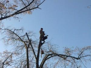poza Doborare taiere arbori cu inaltime peste 18 metri. Pomi si copaci uscati inalti cazuti sau periculosi.