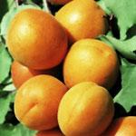 poza Pomi fructiferi  Caisi soiul 'Harcot'. Pomi puieti fructiferi altoiti, cu radacina ambalata.