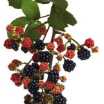 Poza Arbusti fructiferi de vanzare: muri