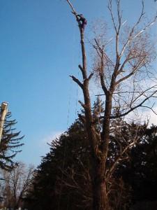 poza Toaletare fasonare arbori pomi si copaci periculosi cu inaltime sub 6 metri.