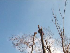 poza Toaletari fasonari arbori pomi si copaci periculosi cu inaltime intre 6 si 12 metri.