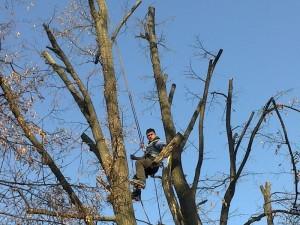 poza Toaletare fasonare arbori pomi si copaci periculosi cu inaltime intre 12 si 18 metri.