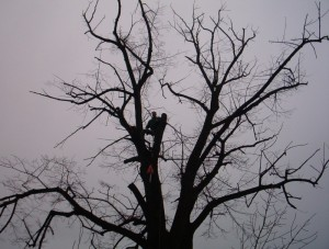 poza Toaletari fasonari arbori pomi si copaci periculosi cu inaltime peste 18 metri