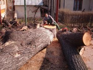 poza Extrageri buturugi si cioturi de arbori (pomi copaci) cu inaltime peste 18 metri.