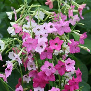 poza Flori de gradina anuale Nicotiana hybrida/ Regina noptii Flori la ghivece de 105 cm