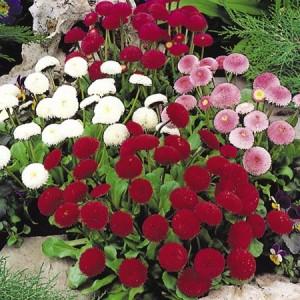 poza Flori de gradina bienale Bellis perennis / Paralute Flori de gradina la ghivece de 9 cm
