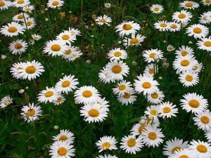 poza Flori de gradina perene Chrysanthemum leucanthemum (margareta)