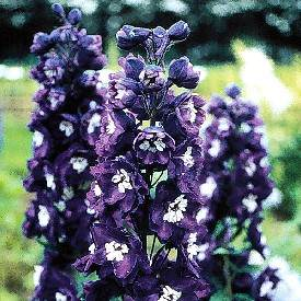poza Flori de gradina perene Delphinium grandiflorum 'King Arthur' (nemtisorul de camp)
