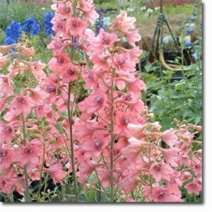 poza Flori de gradina perene Delphinium nudicaule 'Pink Senzation'