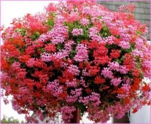 Poza Plante de balcon muscate curgatoare cu floare simpla (Pelargonium peltatum V D P