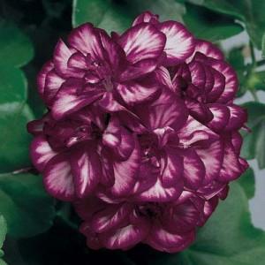 Poza Plante de balcon muscate curgatoare cu floare dubla (Pelargonium peltatum)