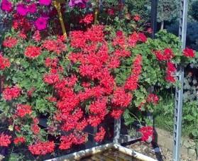 poza Plante de balcon muscate curgatoare rosii cu floare simpla Pelargonium peltatum Cascadeghiveci 12cm