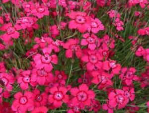 poza Flori de gradina perene GAROFITE/DIANTHUS GRANDOPOLITANUS