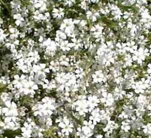 poza Flori de gradina perene FLOAREA MIRESEI/GYPSOFILA REPENS ALBA