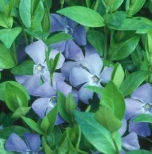 poza Flori de gradina perene VINCA MINOR p9