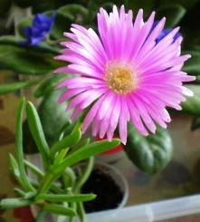 poza Flori de gradina perene MEZEMBRIANTEMUM la ghivece de 9 cm