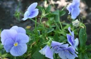 Poza Plante curgatoare de balcon Viola mini / Panselute miniaturale. Flori la ghivece de 9 cm.