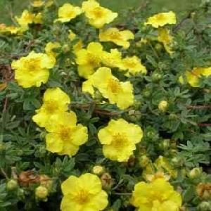 poza Flori de gradina perene POTENTILA / POTENTILLA FRUTICOSA Goldfinger ghiveci 3-5 litri