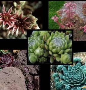 Poza Flori de gradina perene Sempervivum spp
