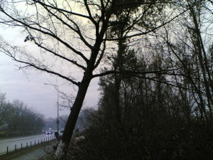 Poza Taiere copac doborat dezradacinat de vant.
