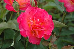 Poza Trandafiri pitici de gradina cu radacina Granada in ghiveci.Trandafiri pitici altoiti cu minim trei ramificatii. Varsta trandafirilor: 3 ani. Trandafiri sanatosi, rezistenti cu inflorire indelungata si flori deosebite.