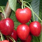 poza Pomi fructiferi Ciresi soiul `Germersdorf`. Puieti fructiferi altoiti, cu radacina ambalata.