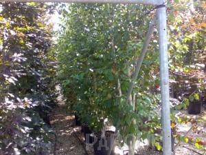 poza Plantari arbori, arbusti si flori de gradina in containere sau cu balot de pamant de 30 litri.