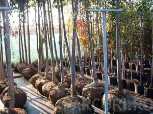 poza Plantari arbori, arbusti si flori de gradina in containere sau cu balot de pamant de 50 litri