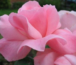 poza Trandafiri de gradina Elisabet Queen butasi cu radacini in ghiveci de 3 litri