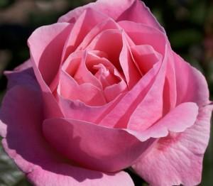 poza Trandafir gradina Floribunda  cu radacina ambalata,`Queen  Elisabeth`