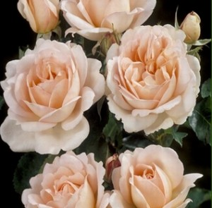 poza Trandafiri de gradina Polyantha Chloe renaissance, planta formata cu radacina in ghiveci de 35 litri