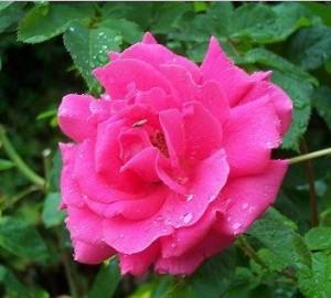 poza Trandafiri de gradina Polyantha Criterion plante formate cu radacina in ghiveci de 3 litri